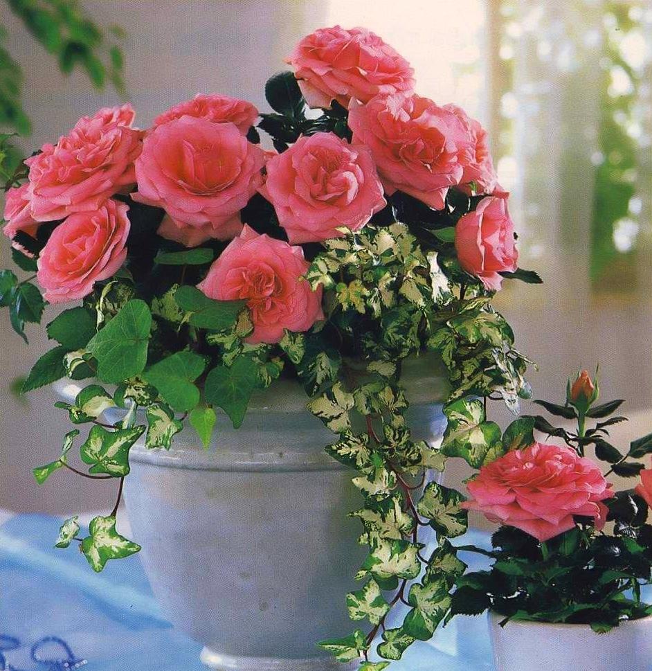 Египет цветок роза