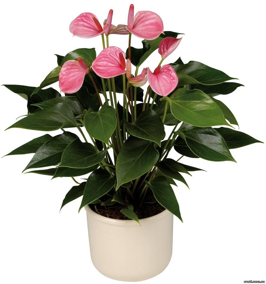 Мужские комнатные цветы